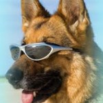 shepard with sun glasses